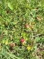 野川公園。ヘビイチゴ