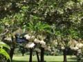 野川公園。エゴノキ