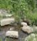 野川。カルガモ