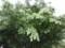 ミズキの花(まだ咲かない)