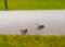 大芝生を散策するカルガモペア