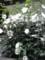 ムクゲ Hibiscus syriacus か?