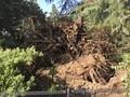 台風24号で倒れた木