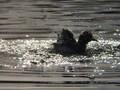 ヒドリガモの水浴