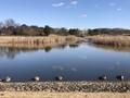 池の中央にぼっちのキンクロ