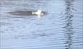オオバン潜水5