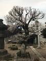 龍源寺の梅