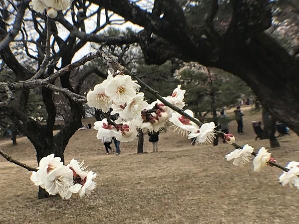 小金井公園 梅まつり