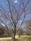 武蔵野の森公園オオカンザクラ