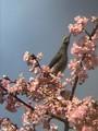 カワヅザクラにヒヨドリ