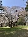 ソメイヨシノ(多分)