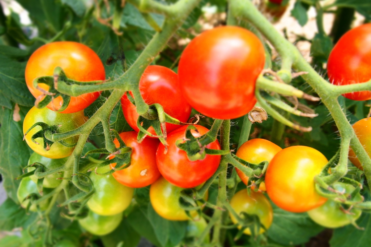 ご近所さんのミニトマト