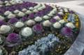 [花]ハボタン