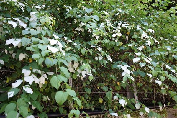 脱線part2 これは何の葉っぱでしょう?