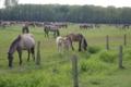 [Dülmen][馬]デュルメンの野生馬