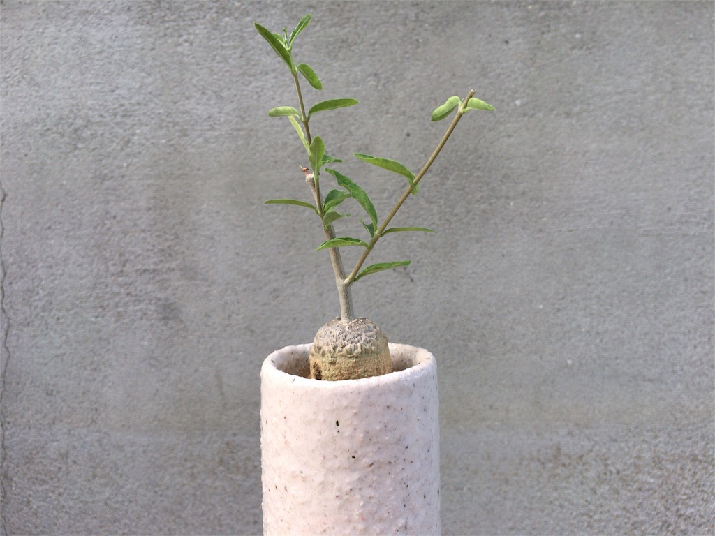 f:id:kamome-plants:20170807173402j:image