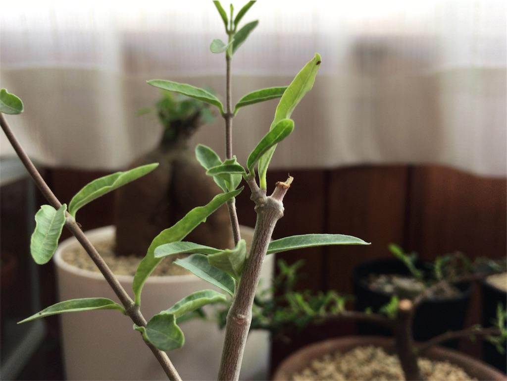 f:id:kamome-plants:20170807183139j:image