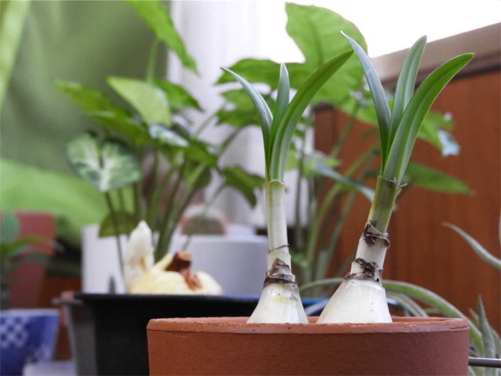 f:id:kamome-plants:20170930214705j:image