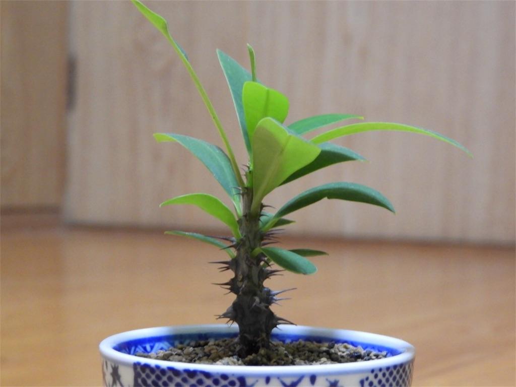 f:id:kamome-plants:20171016003629j:image