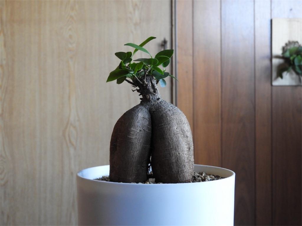 f:id:kamome-plants:20171120004744j:image