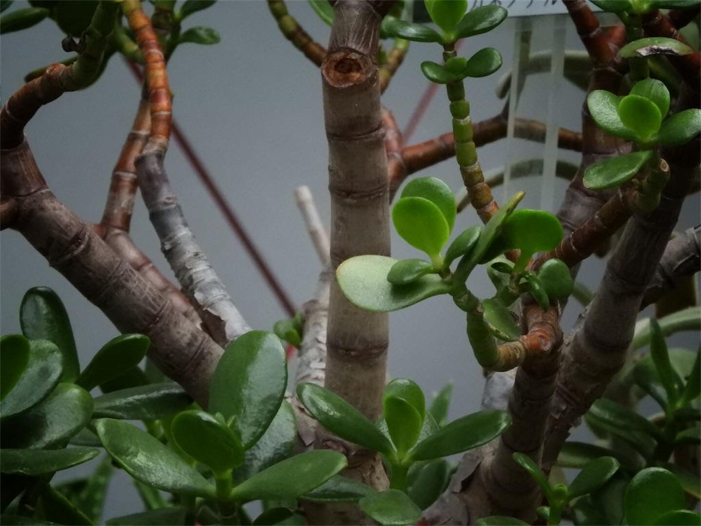 f:id:kamome-plants:20171211001503j:image