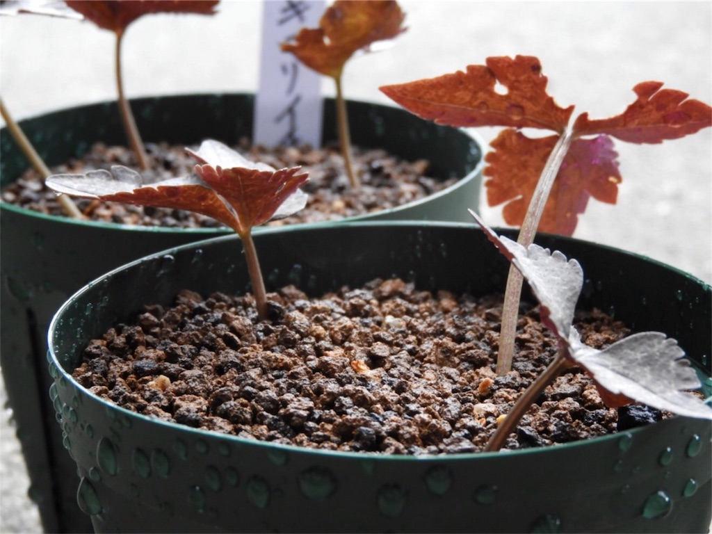 f:id:kamome-plants:20171227004838j:image