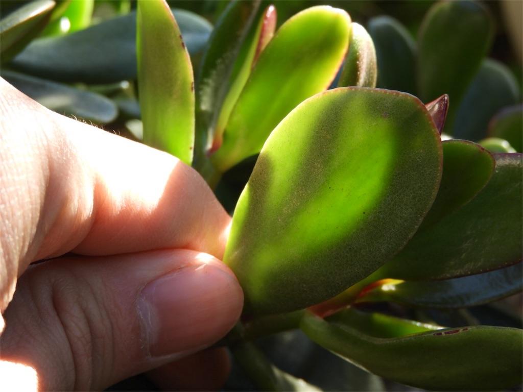 f:id:kamome-plants:20171227234919j:image