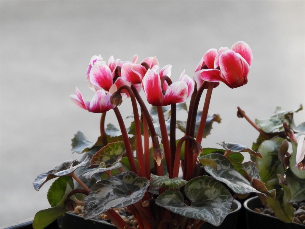 f:id:kamome-plants:20180103220957j:image