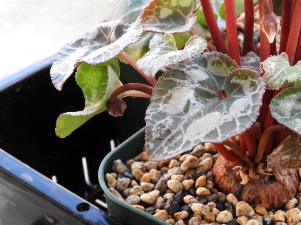 f:id:kamome-plants:20180103221744j:image