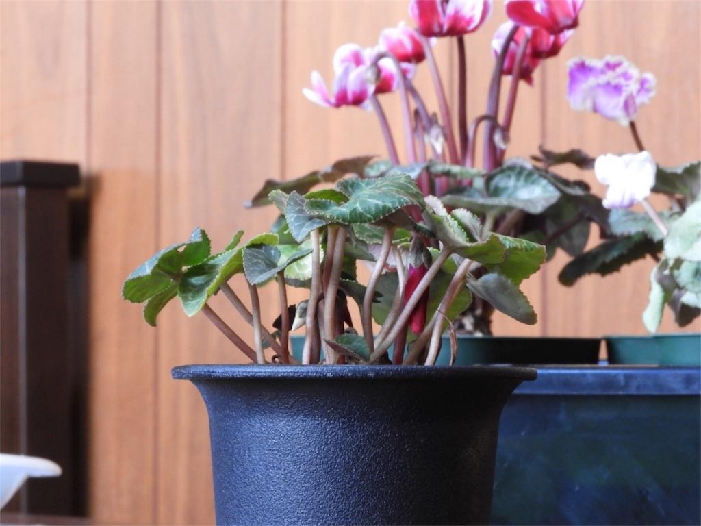 f:id:kamome-plants:20180104002518j:image