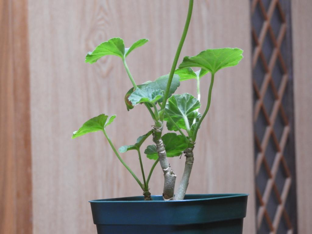 f:id:kamome-plants:20180124005938j:plain