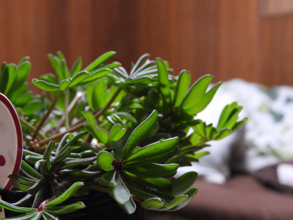 f:id:kamome-plants:20180131003722j:plain