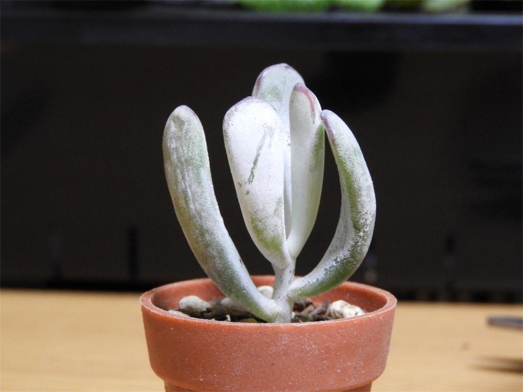 f:id:kamome-plants:20180218163821j:image