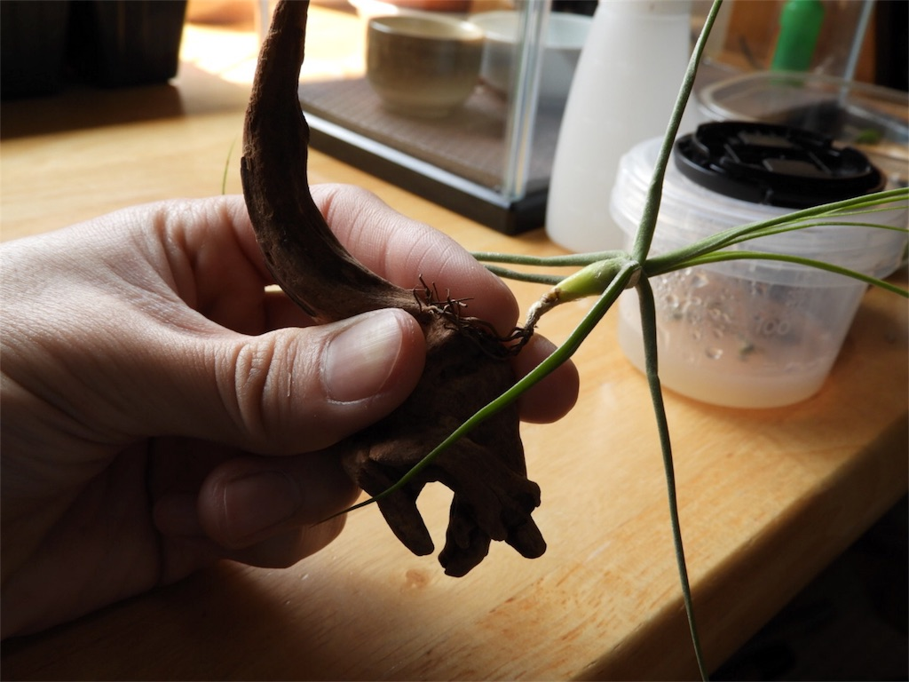 f:id:kamome-plants:20180320204201j:image