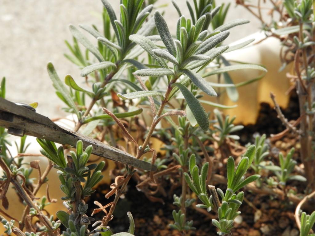 f:id:kamome-plants:20180326210456j:plain