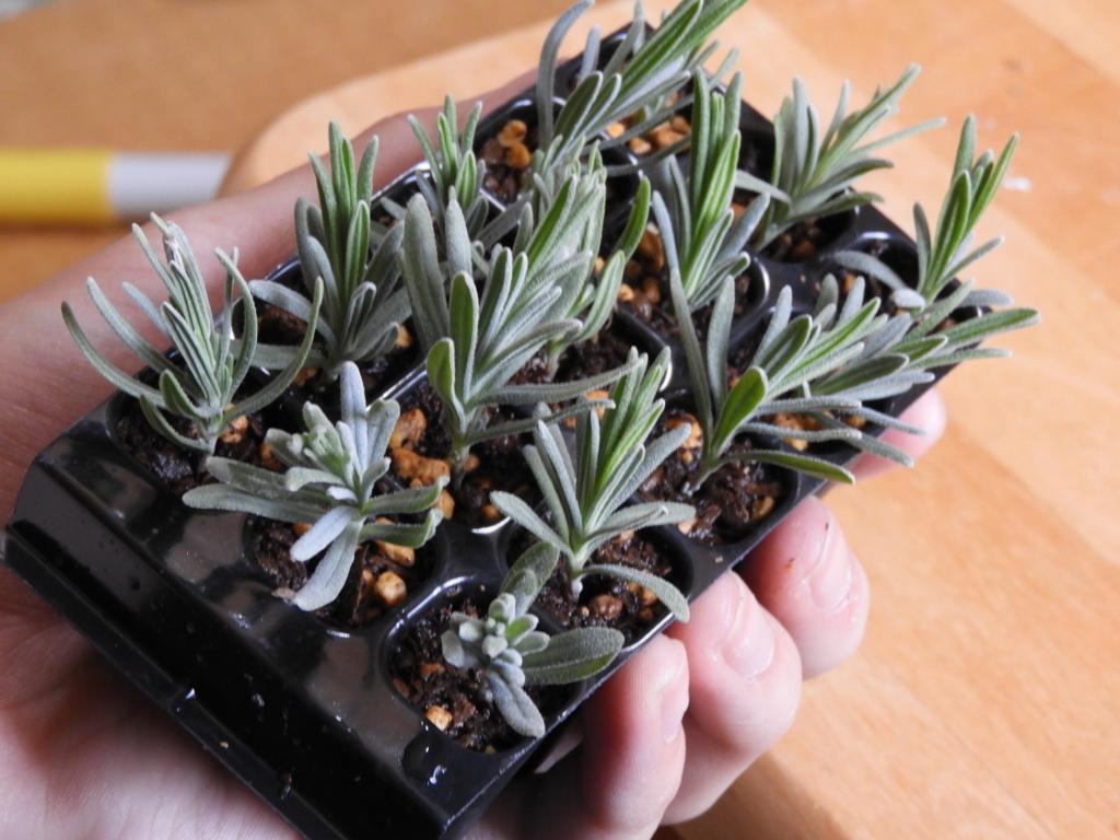 f:id:kamome-plants:20180326212646j:plain