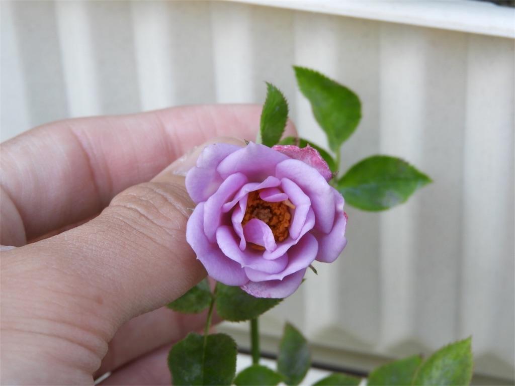 f:id:kamome-plants:20180429003014j:image