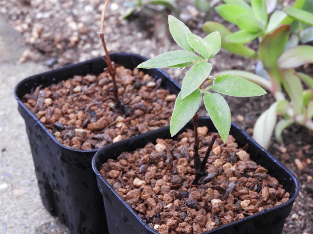 f:id:kamome-plants:20180512222048j:image