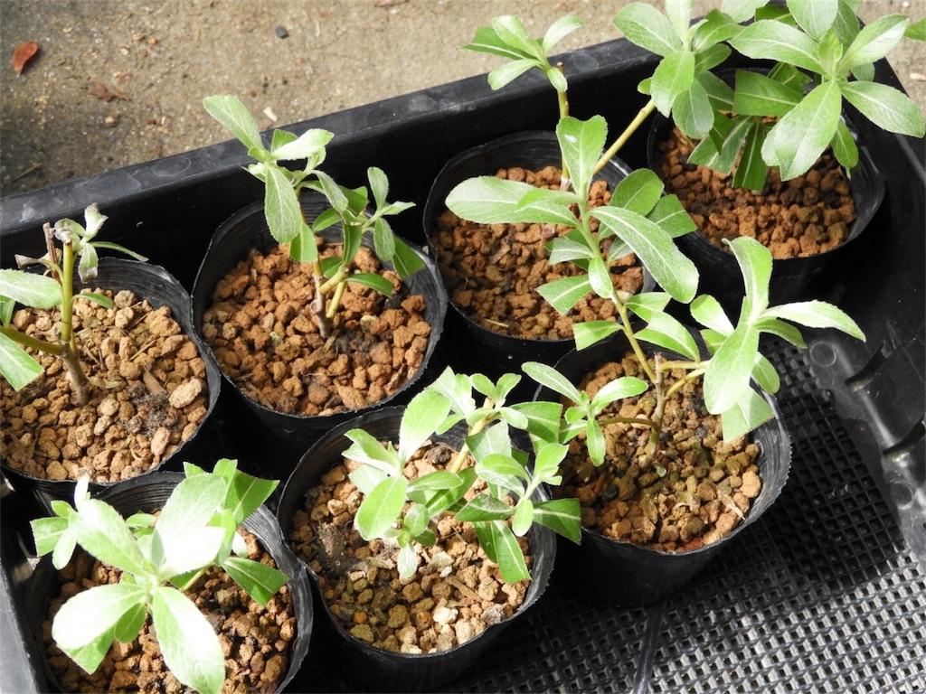 f:id:kamome-plants:20180617214835j:image