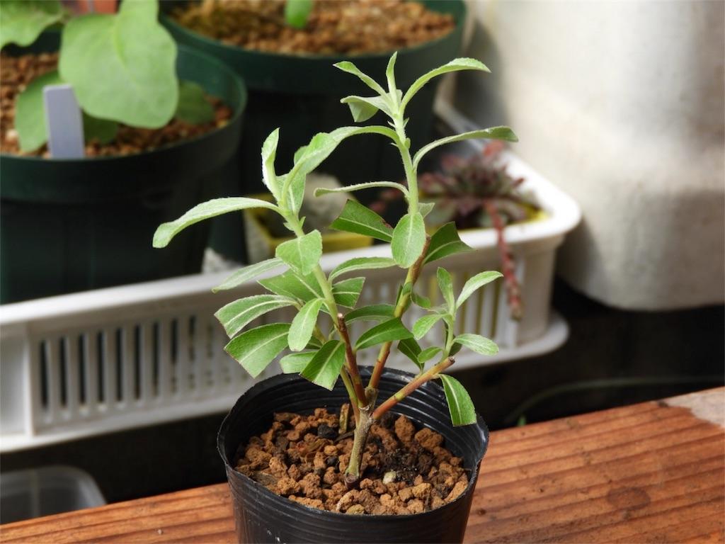f:id:kamome-plants:20180617215516j:image