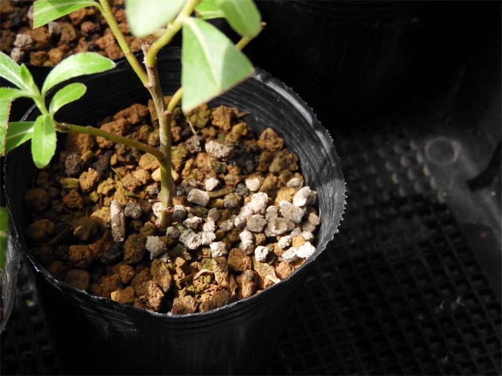 f:id:kamome-plants:20180617223855j:image