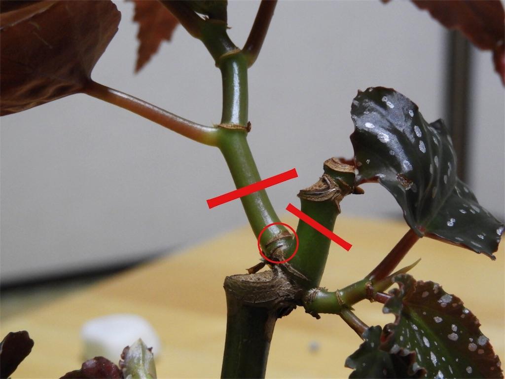 f:id:kamome-plants:20180715022539j:image