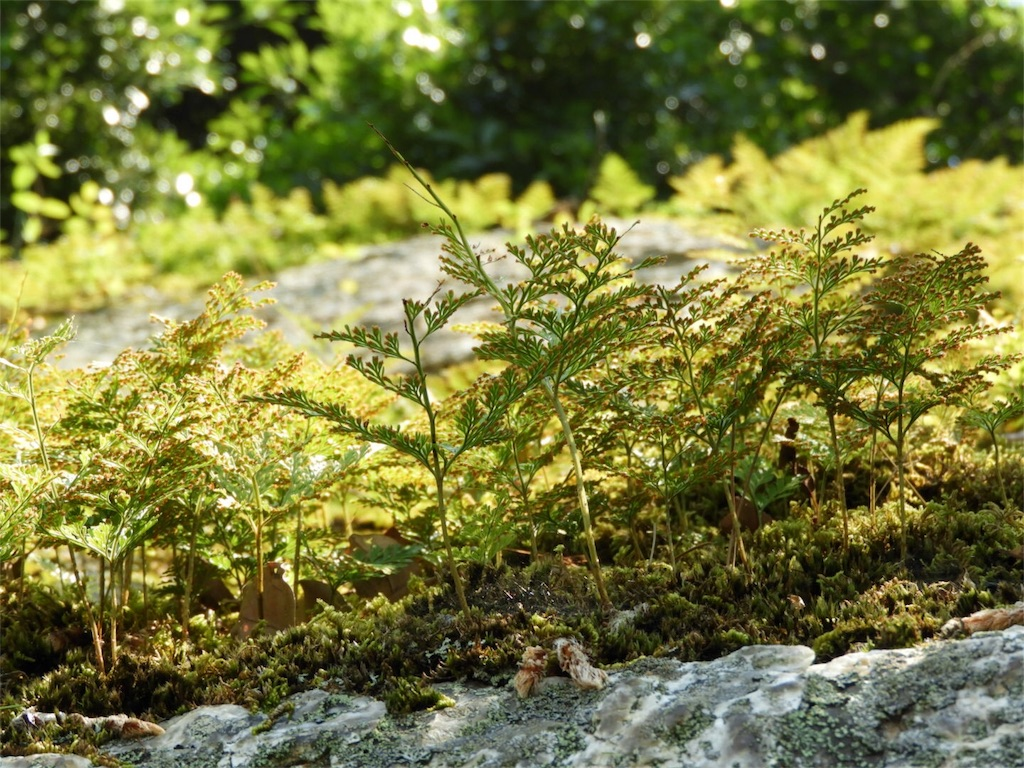 f:id:kamome-plants:20180718232650j:image