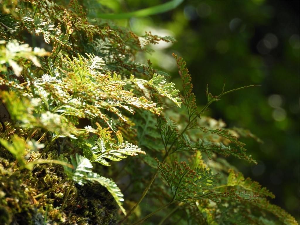 f:id:kamome-plants:20180718232653j:image