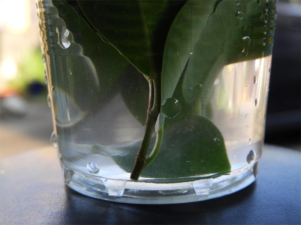 f:id:kamome-plants:20180728131754j:image