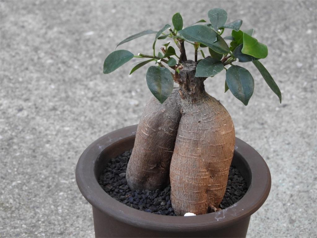f:id:kamome-plants:20180728185235j:image