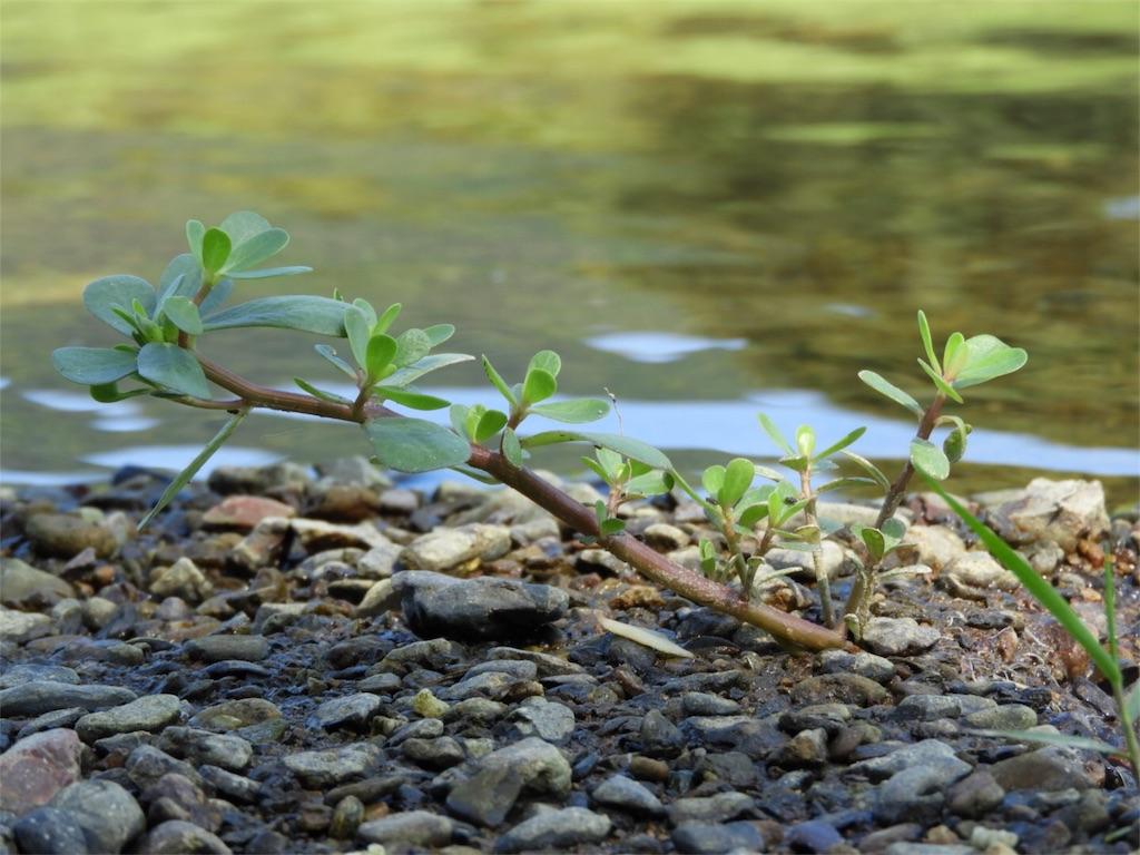f:id:kamome-plants:20180809205614j:image