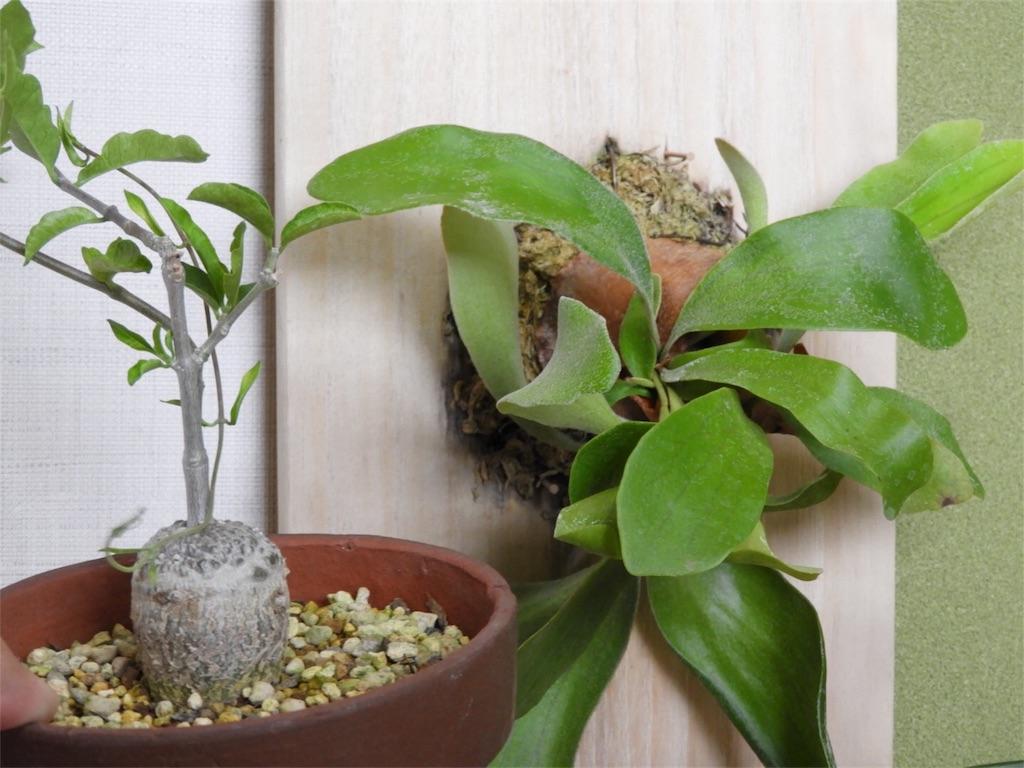 f:id:kamome-plants:20180810234656j:image