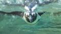 サンシャイン 水族館 泳ぐ ペンギン