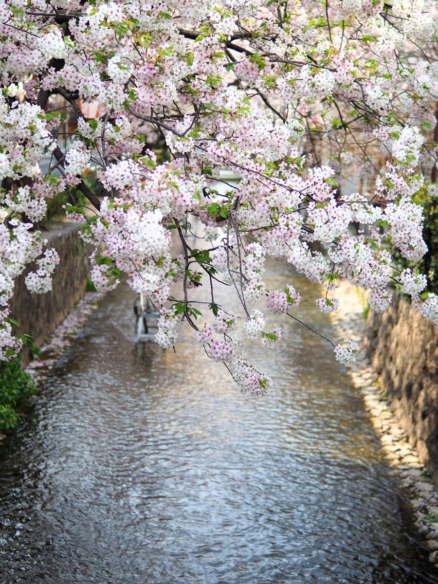 桜の時期の河原町